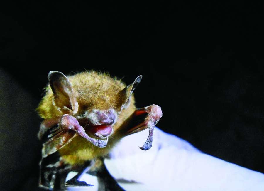 Regional bats face 'steep decline'