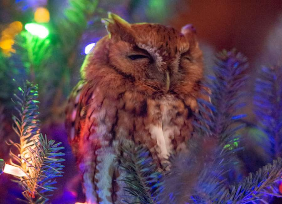 'Owl' be home for Christmas
