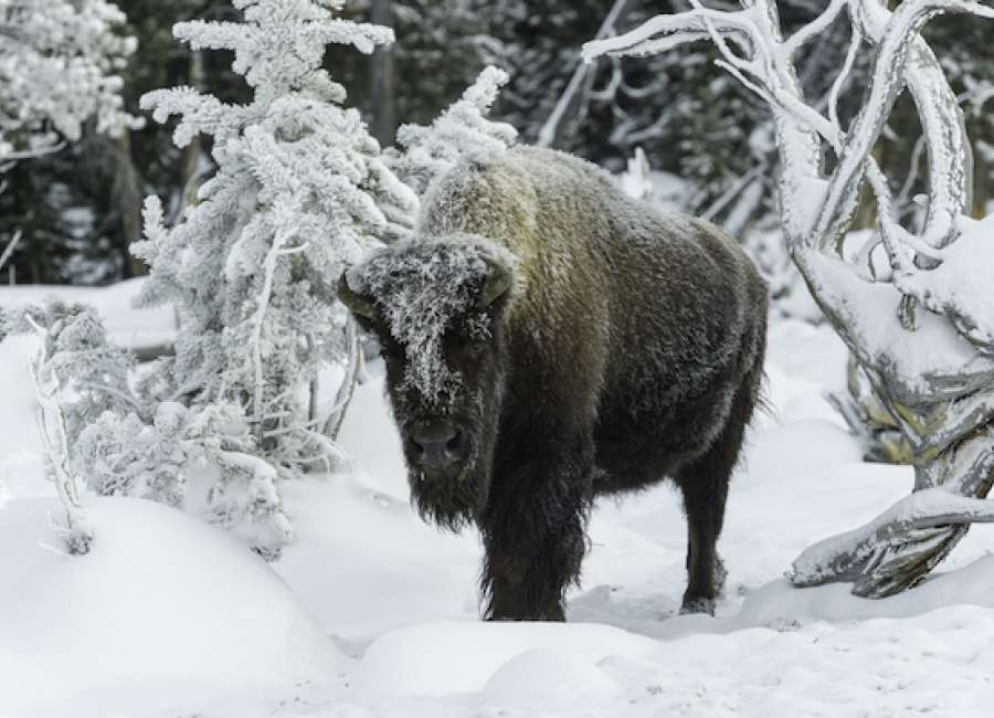 There & back again: Yellowstone National Park in winter